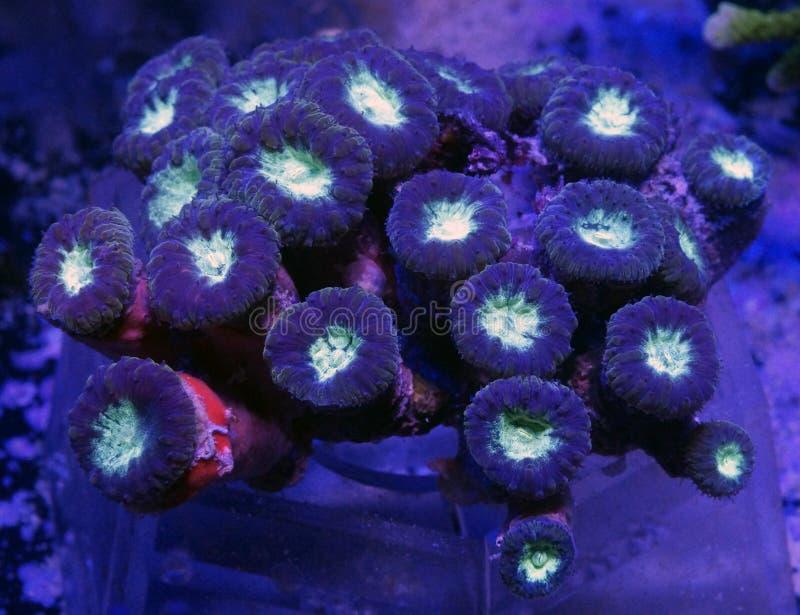 Zielony Blastomussa koral obraz royalty free