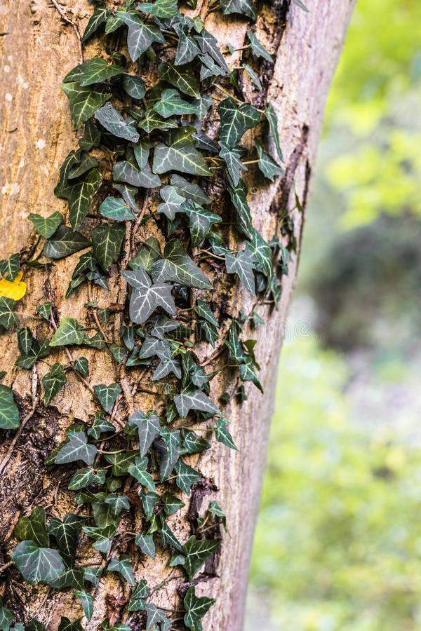 Zielony bluszcz na drzewie w kolorach jesień obraz royalty free