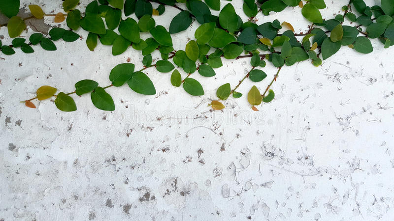 Zielony bluszcz na tle stara stiuk ściana ilustracji