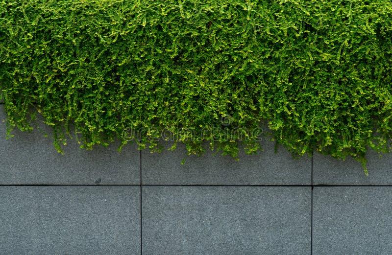 Zielony bluszcz zakrywający urlop betonowej ściany tekstury tło Rośliny ściana dla lotniczy purifying Zielony ścienny bluszcz dla obraz stock