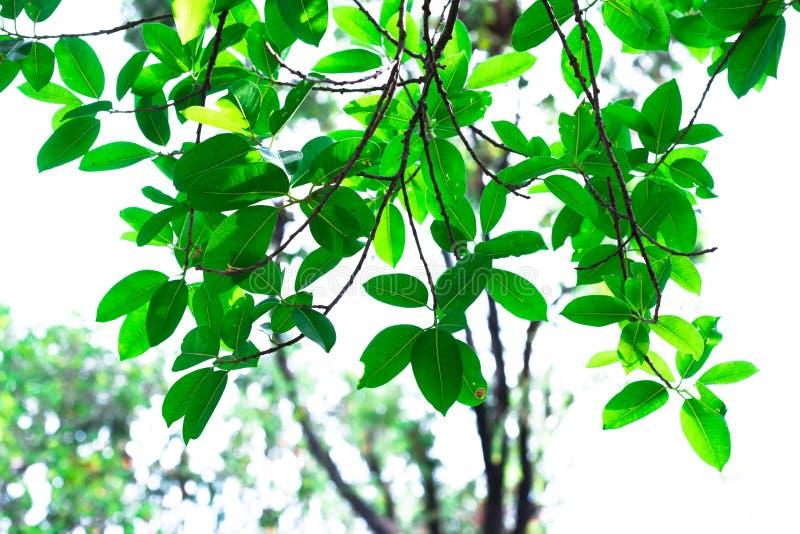 Zielony brzmienie liść odizolowywa na tle w sping lecie obrazy stock