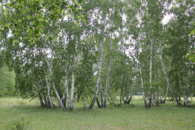 Zielony brzoza las w słonecznym dniu zdjęcie stock