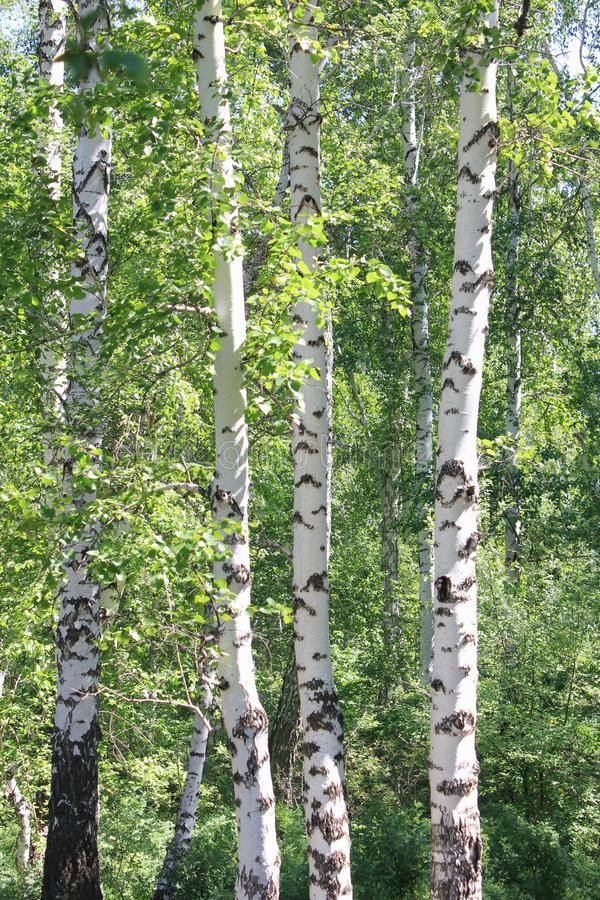 Zielony brzoza las w słonecznym dniu zdjęcia royalty free