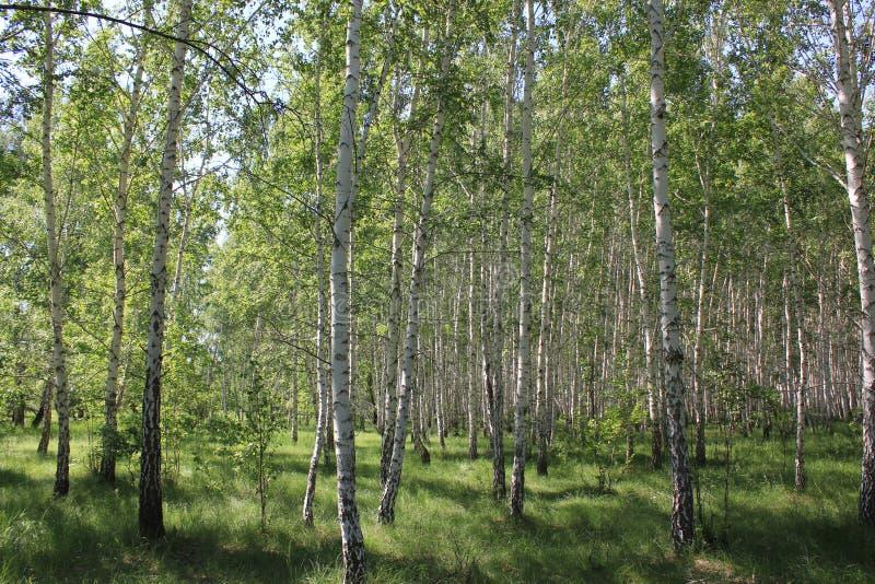 Zielony brzoza las w słonecznym dniu obrazy stock