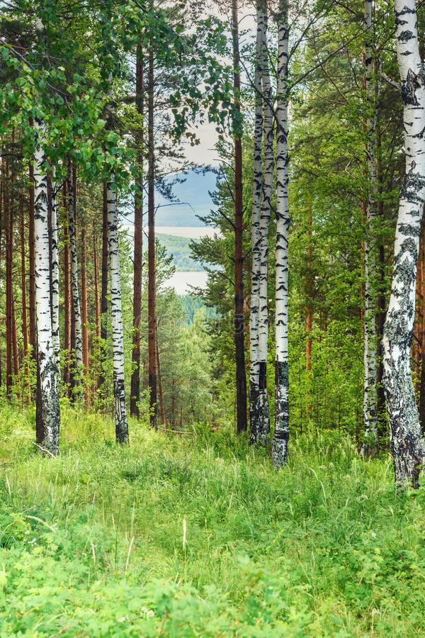 Zielony brzozy i sosny las w lecie obrazy stock