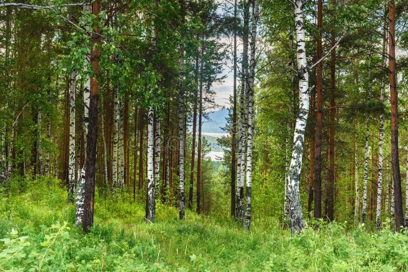 Zielony brzozy i sosny las w lecie zdjęcie royalty free