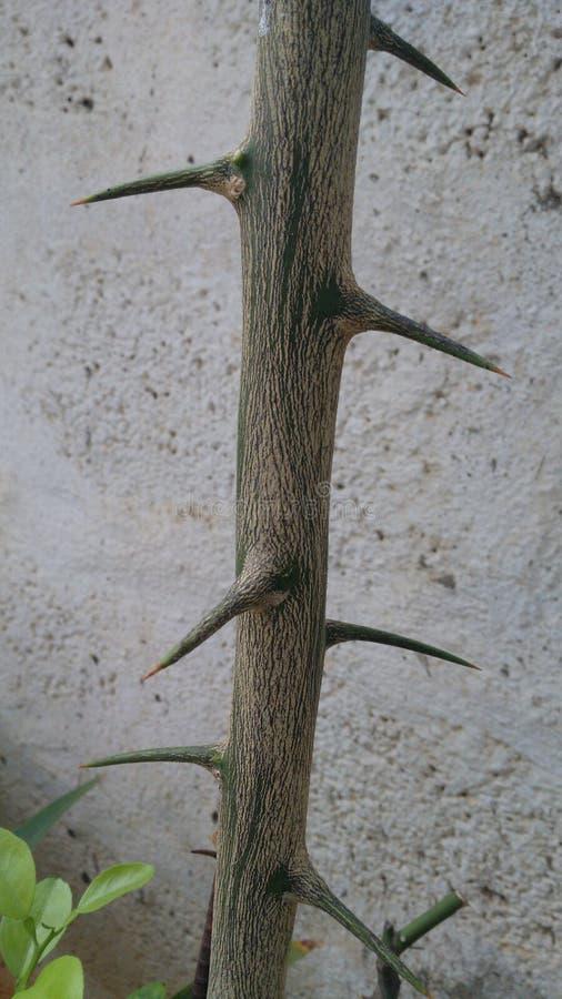 Zielony Cierniowaty drzewo fotografia royalty free