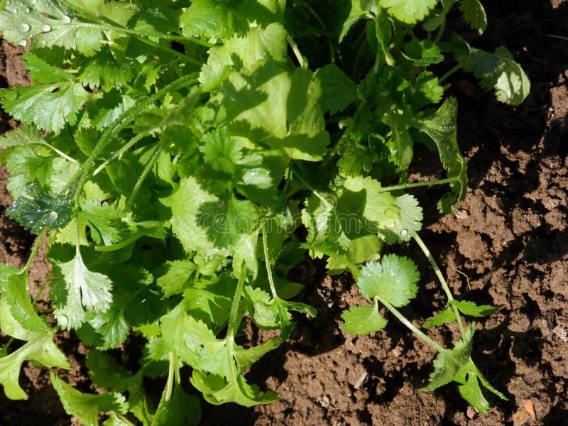 Zielony cilantro r w glebowy bardzo zamkniętym w górę zdjęcie stock