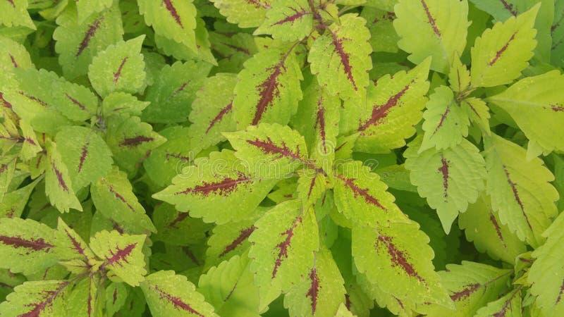 Zielony coleus zdjęcia royalty free