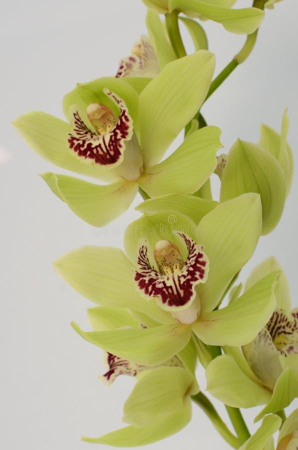 Zielony cymbidium kwiat na białym tle fotografia stock