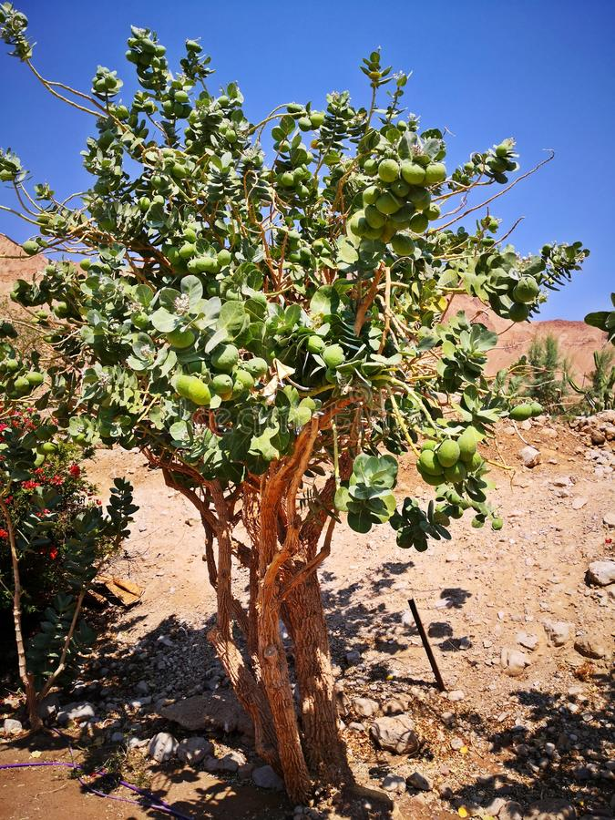 Zielony cytryny drzewo, wapno/ obrazy royalty free