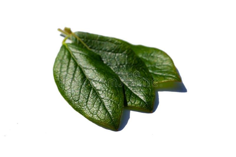 Zielony czarna jagoda liść odizolowywający na białym tle zdjęcie royalty free