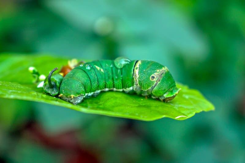 Zielony czerw zdjęcie royalty free
