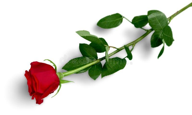 zielony czerwieni róży trzon obrazy stock