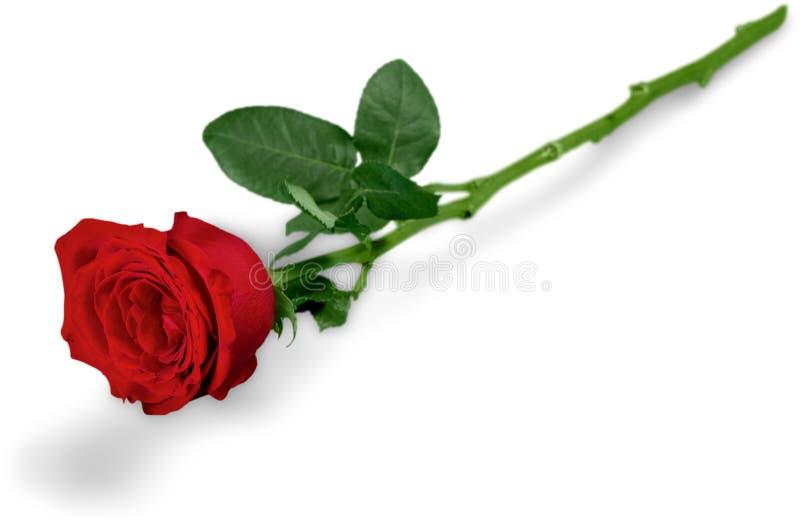 zielony czerwieni róży trzon obraz stock