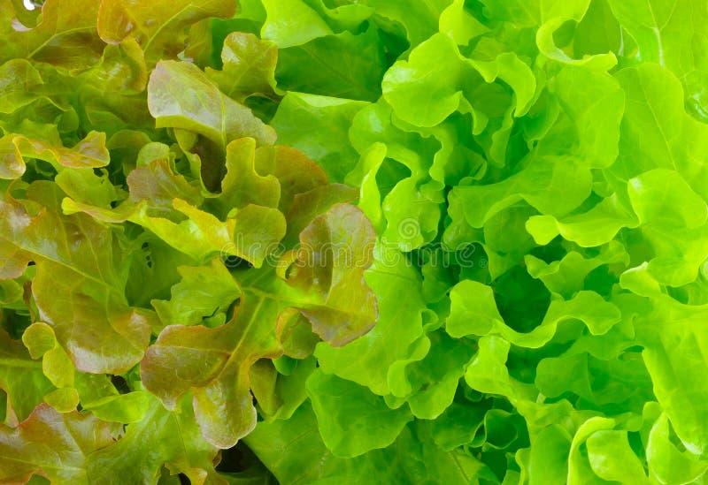 Zielony dąb i czerwonego dębu sałat liście obraz stock