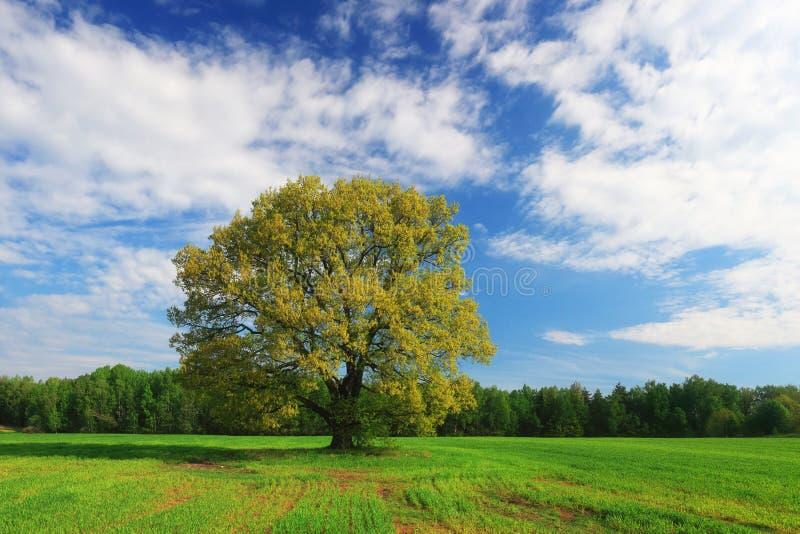 Zielony dębowy drzewo na niebieskiego nieba tle obrazy royalty free