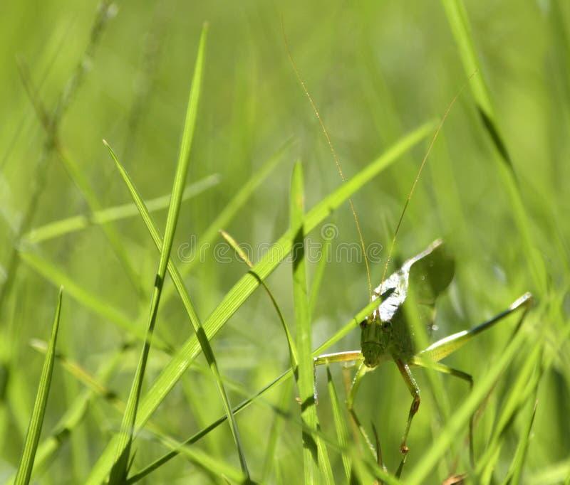 Zielony Długorogi pasikonik chuje w Zielonej trawie zdjęcie royalty free
