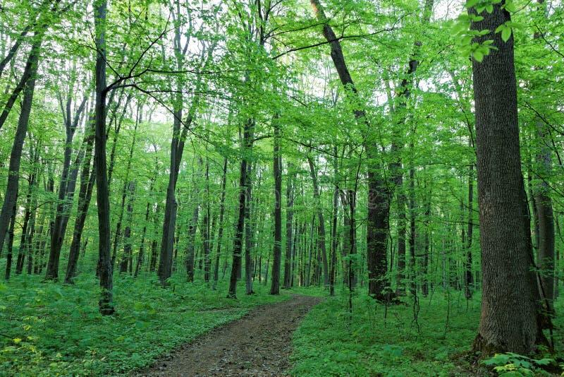 Zielony deciduous las na słonecznym dniu zdjęcie stock