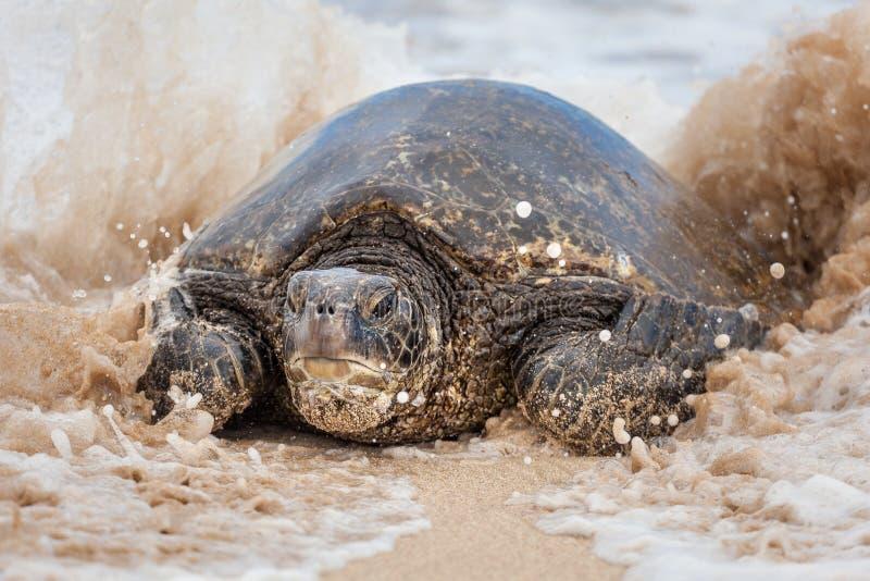Zielony Dennego żółwia portret obraz royalty free