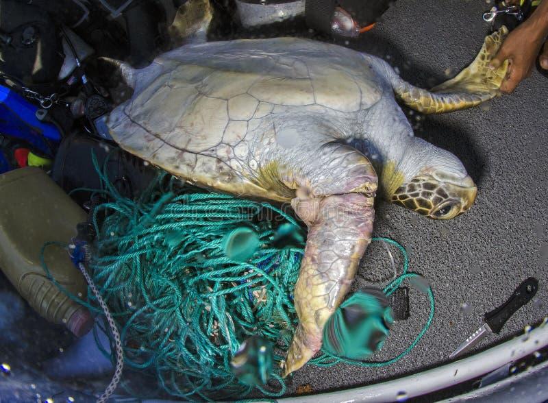 Zielony Denny żółw, Galapagos zdjęcie royalty free