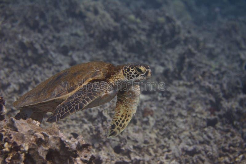 Zielony Denny żółw na rafie koralowej fotografia stock