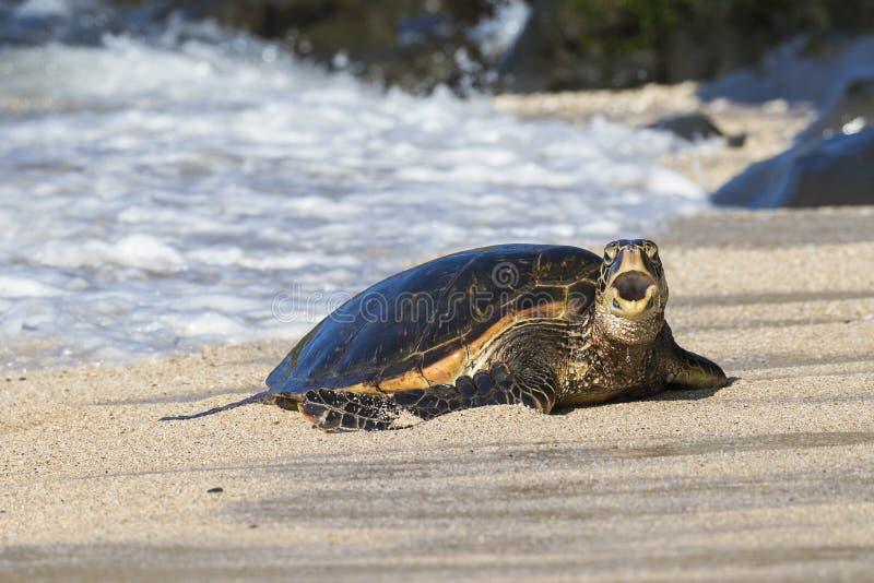 Zielony denny żółw robi lądowi otwarty blisko Maui Hawaje z jego usta fotografia royalty free