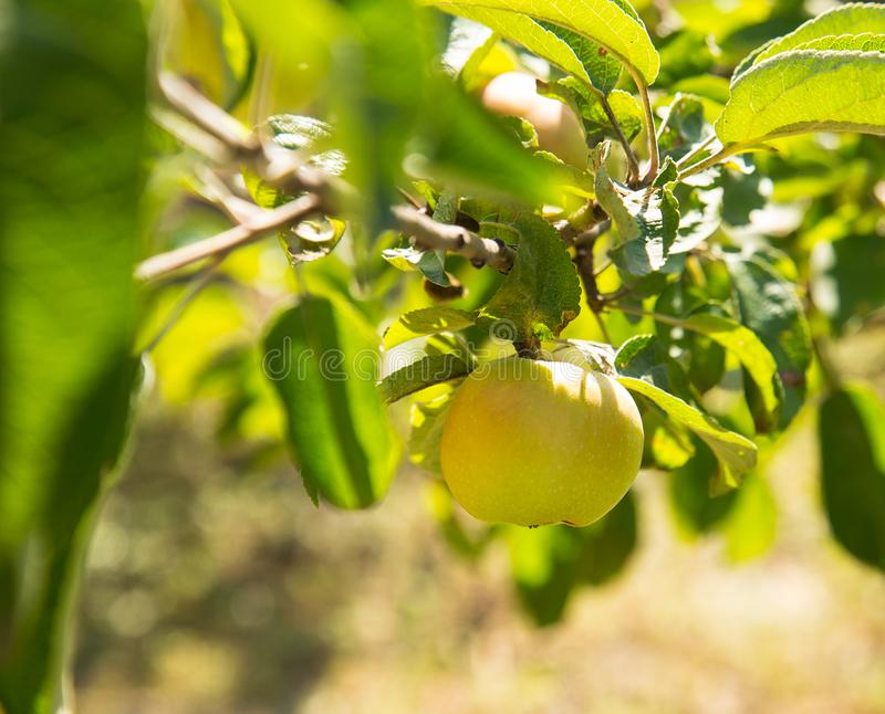 Zielony dojrzały jabłko na gałąź jabłoń w ogródzie zdjęcie stock