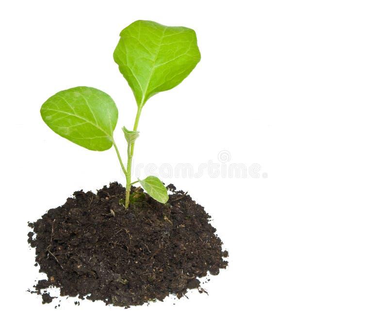 zielony dorośnięcie odizolowywająca roślina zdjęcia stock