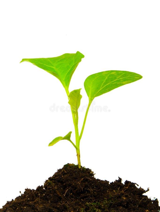 zielony dorośnięcie odizolowywająca roślina zdjęcie stock