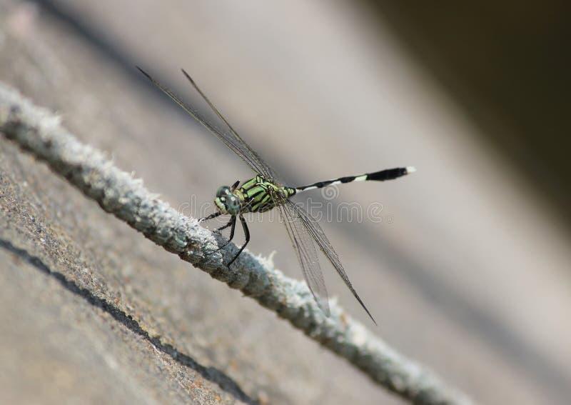Zielony dragonfly fotografia stock