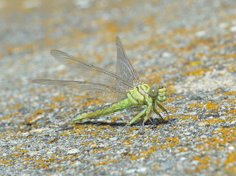 Zielony dragonfly (Ophiogomphus Cecilia) zdjęcia royalty free