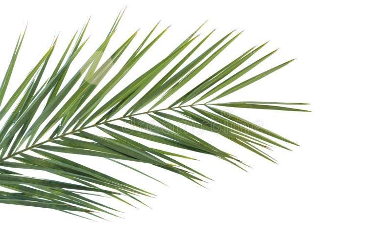 Zielony drzewko palmowe liść odizolowywający na bielu obrazy stock