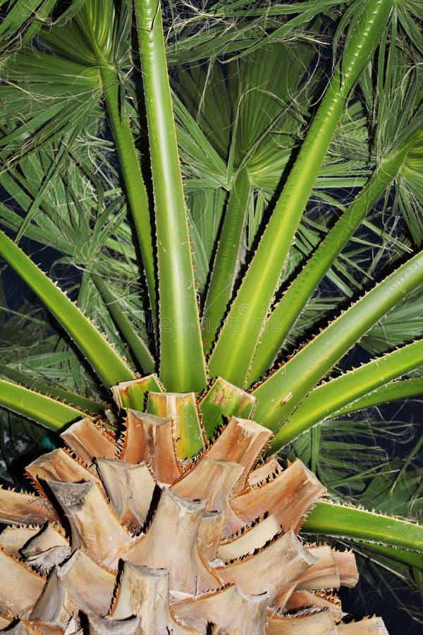 Zielony drzewko palmowe w ogródzie fotografia stock