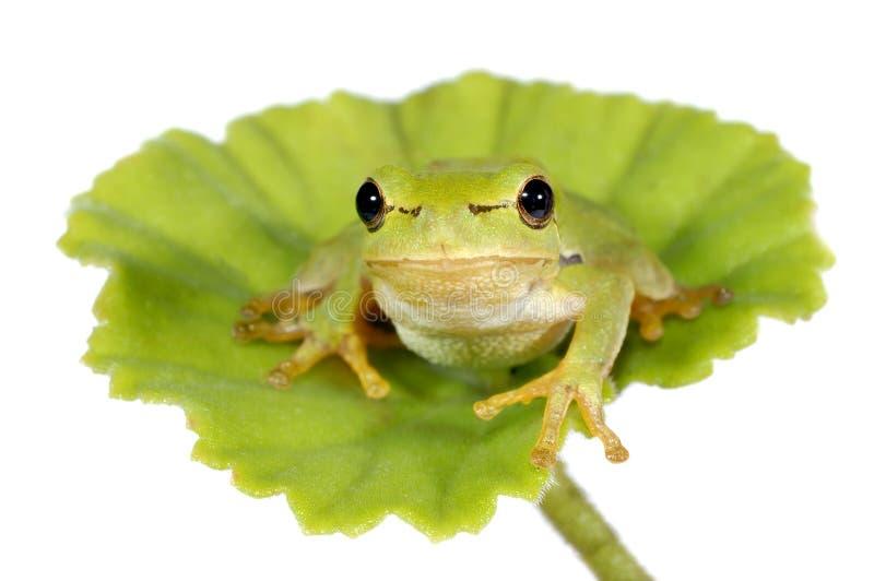 Zielony drzewnej żaby obsiadanie na zielonym liściu - odosobnionym zdjęcia stock