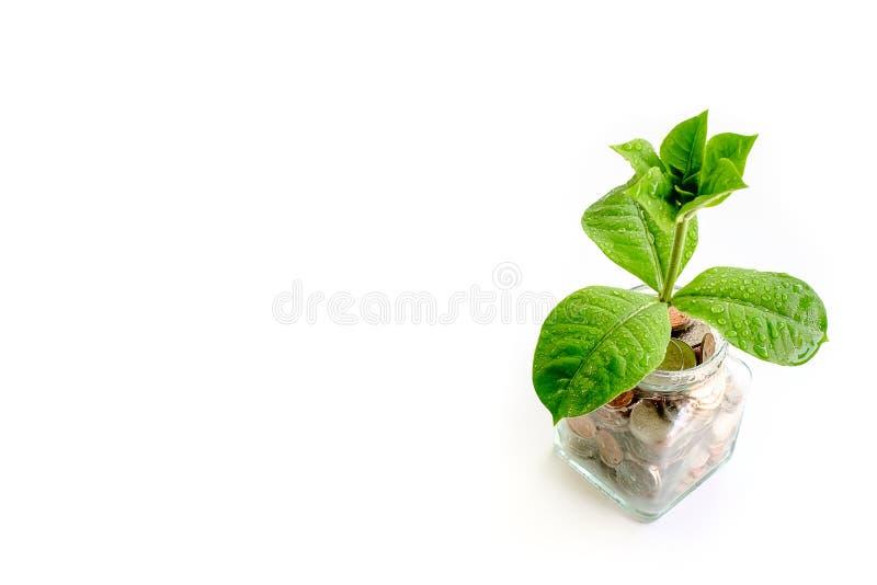 Zielony drzewny dorośnięcie od monet w szklanym słoju na białym backgrou fotografia stock