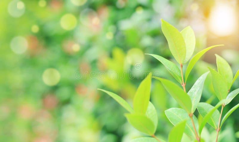 Zielony drzewny liść na zamazanym tle w parku z bokeh i światłem słonecznym W górę natury opuszcza w polu dla używa w sieć projek obraz stock