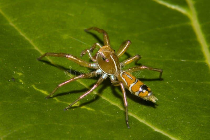 Zielony Drzewny mrówka pająk - Cosmophasis bitaeniata fotografia stock