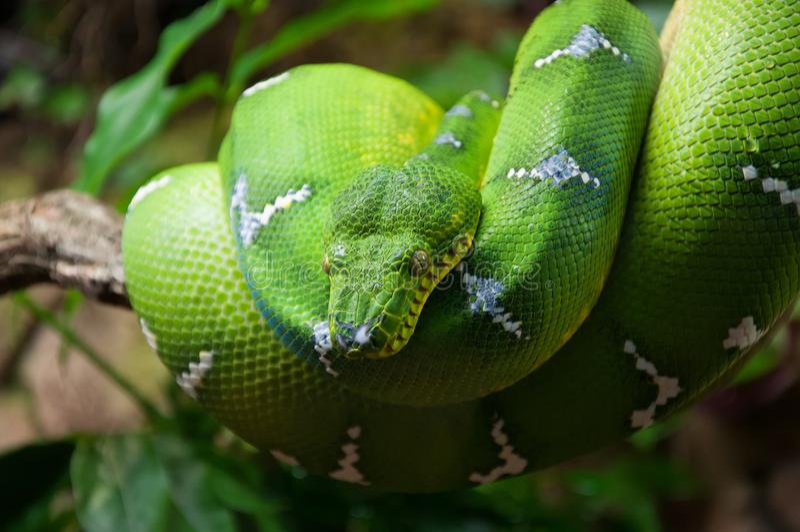 Zielony drzewny pyton Morelia Viridis makro- fotografia royalty free