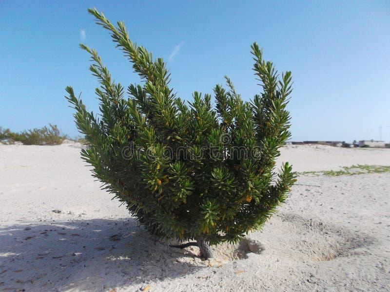 Zielony drzewo na białej piasek plaży, Pasożytniczy drzewo fotografia stock
