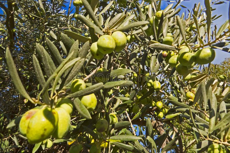 Zielony drzewo oliwne na niebieskiego nieba tle w Grecja zdjęcia stock