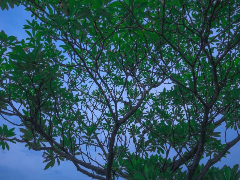 Zielony drzewo w niebieskim niebie, Piękny drzewo na niebieskim niebie obrazy stock
