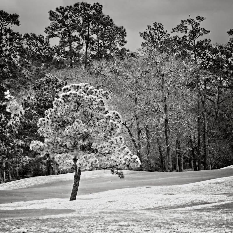 Zielony drzewo w polu golfowym w lasach TX B&W fotografia stock