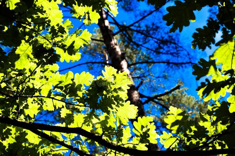 Zielony drzewo wierzchołek w lesie, niebieskim niebie i słońcu, promienieje jaśnienie przez liści Dolny widok zdjęcie royalty free