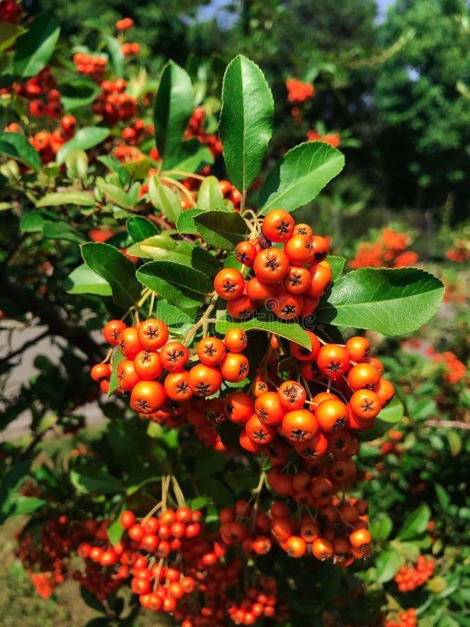 Zielony drzewo z świeżymi jaskrawymi czerwonego popiółu jagodami obraz stock