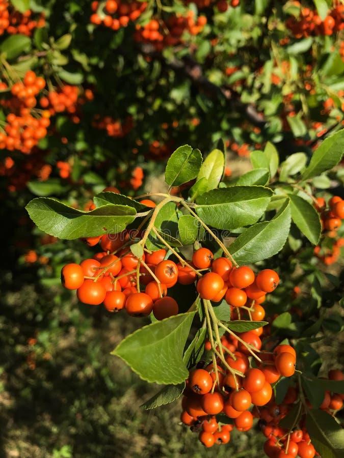 Zielony drzewo z świeżymi jaskrawymi czerwonego popiółu jagodami obrazy royalty free