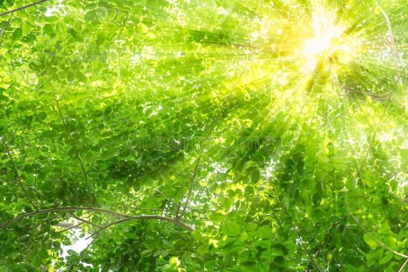 Zielony drzewo z słońce lekkimi promieniami przez lasowego drzewa fotografia royalty free
