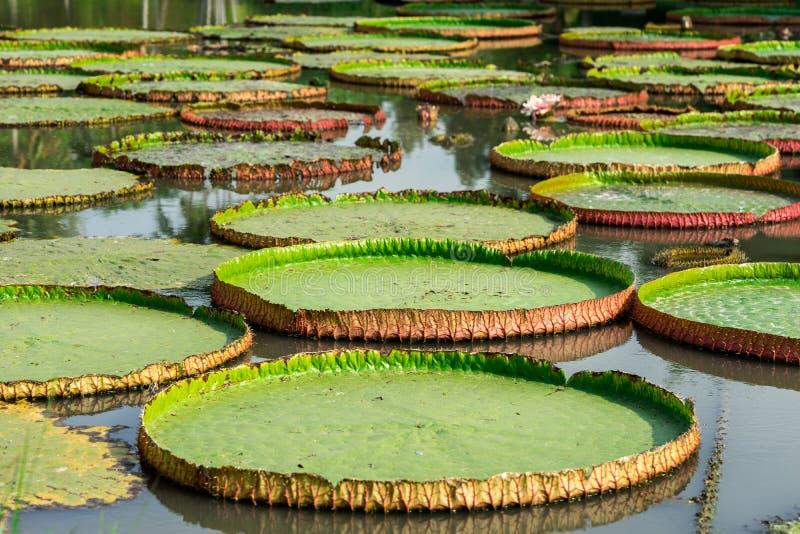 Zielony duży lotosowy liść zdjęcie stock