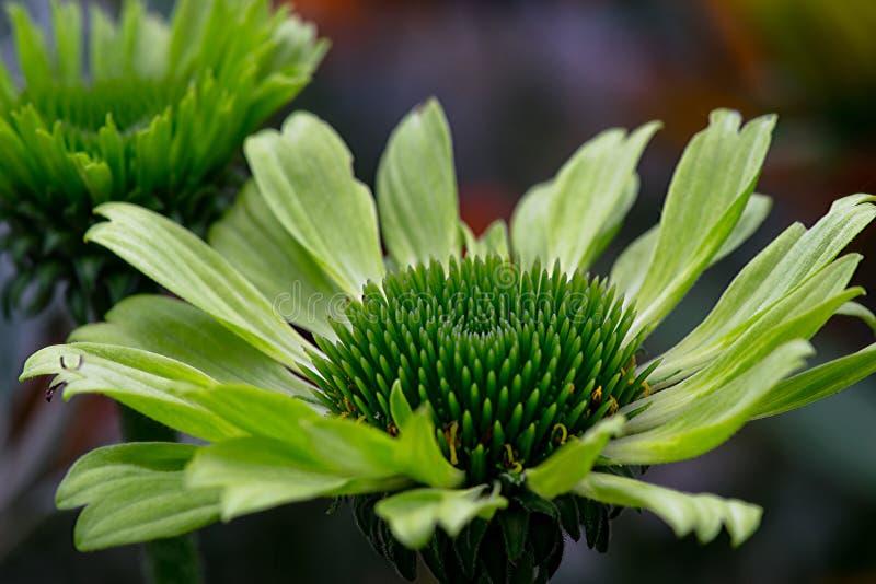 Zielony echinacea obraz stock