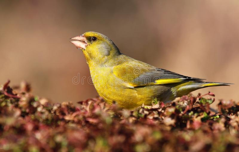 Zielony finch carduelis chloris obraz royalty free